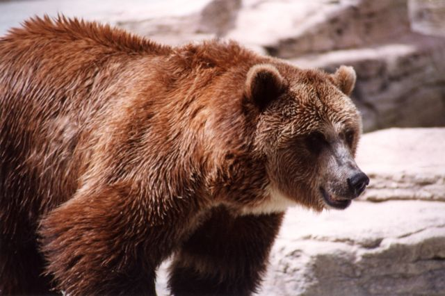 Grizzly Bear Conflicts On The Rise